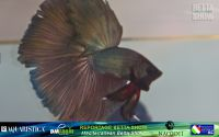 22_napoli_aquatica_betta